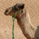 Tunezja-jazda-na-wielbladzie-13
