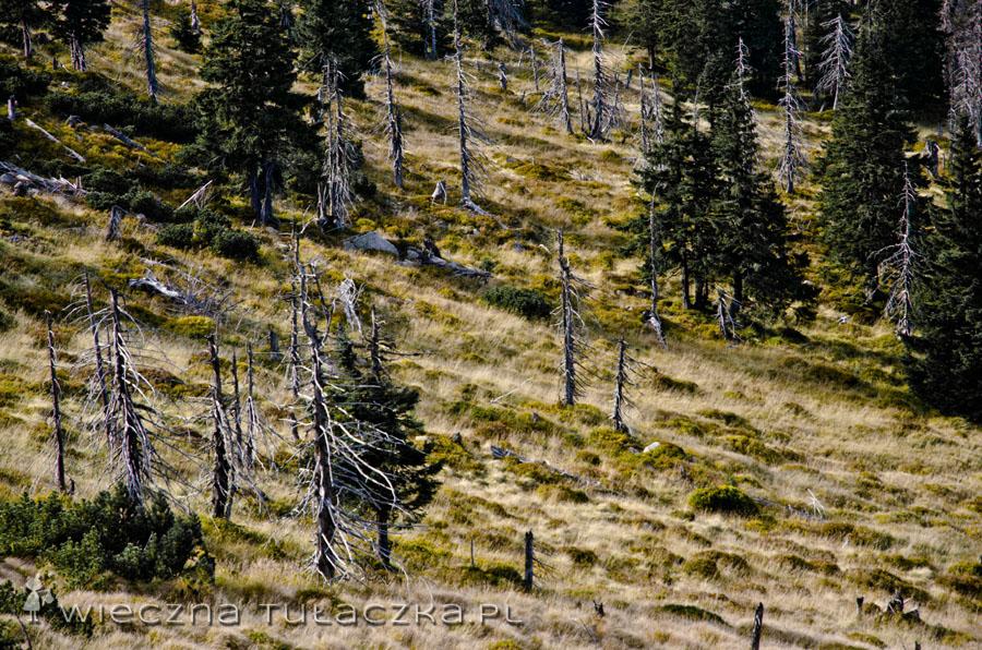 Sudety słyną również z wymarłych lasów... Niestety taki obrazek jest wynikiem działalności człowieka i dużego zanieczyszczenia.