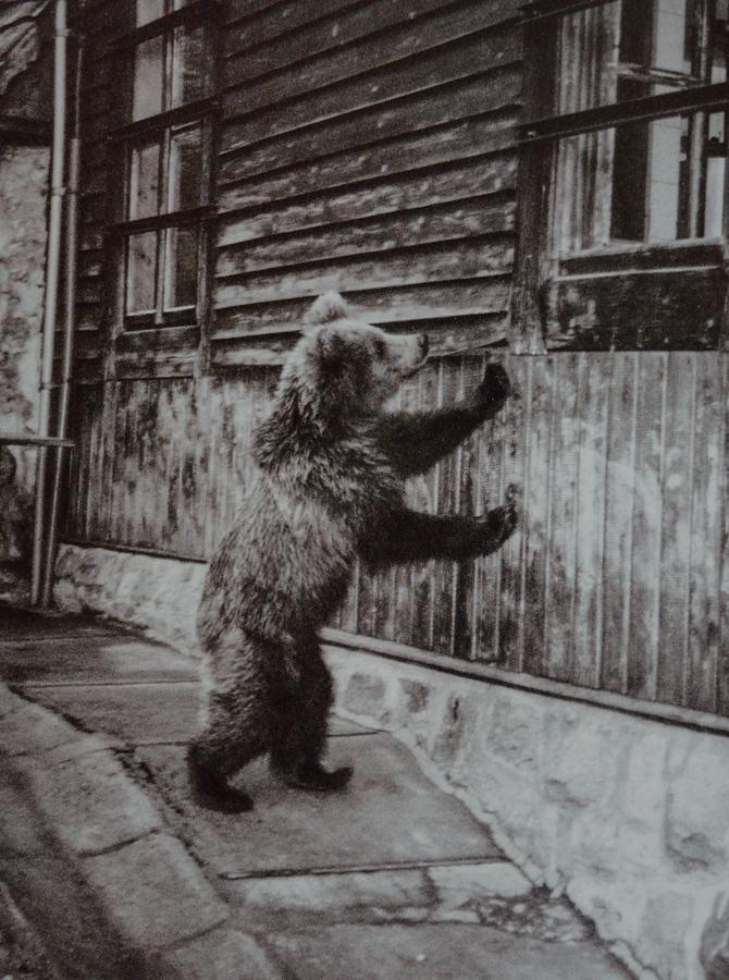 Młody niedźwiedź przy schronisku. Fot. W. Denega, 2003 rok)