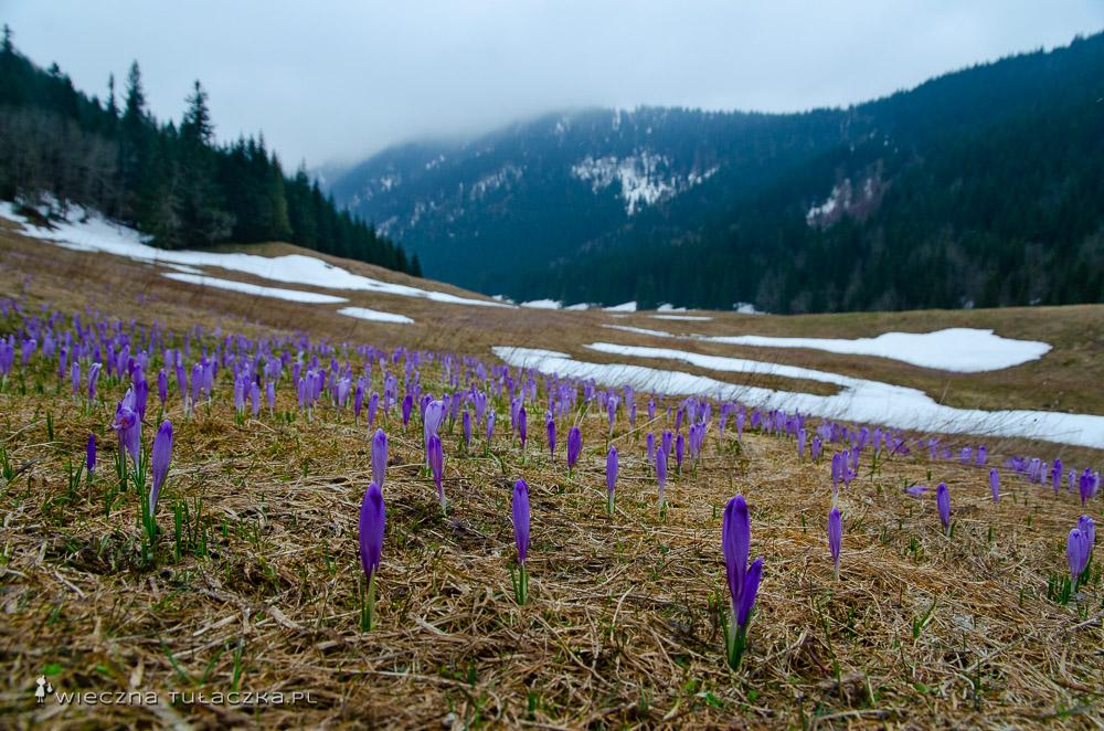 Krokusy w Tatrach