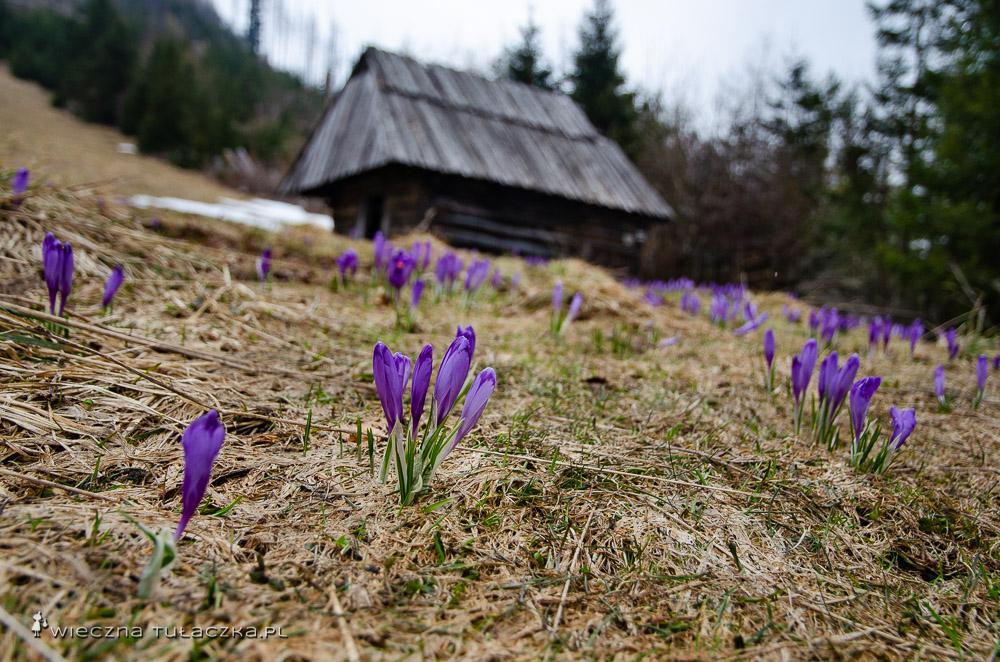 Kominiarski Przysłop w Tatrach, krokusy